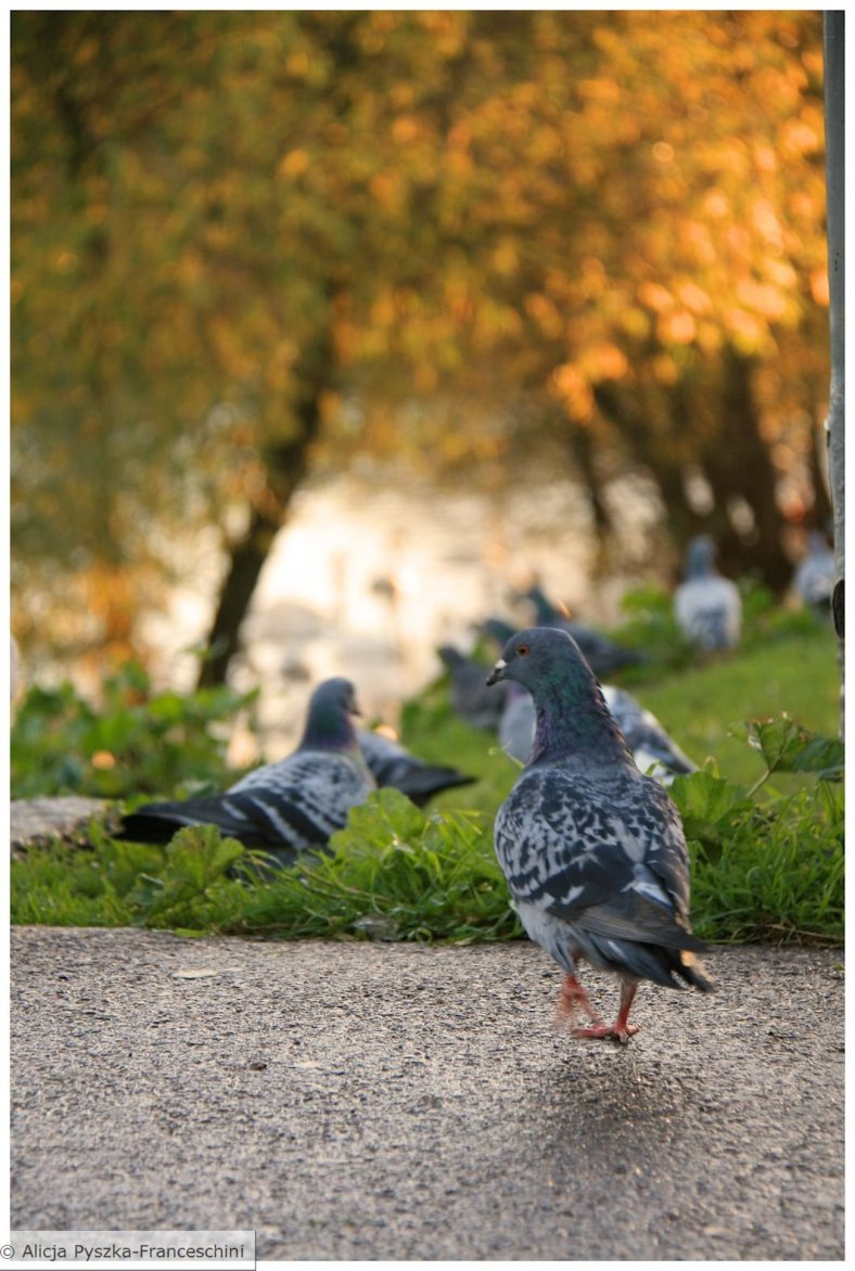 Exeter Pigeons