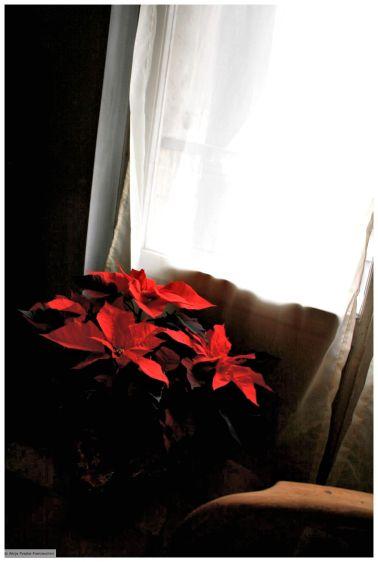 Chrismas Flowers