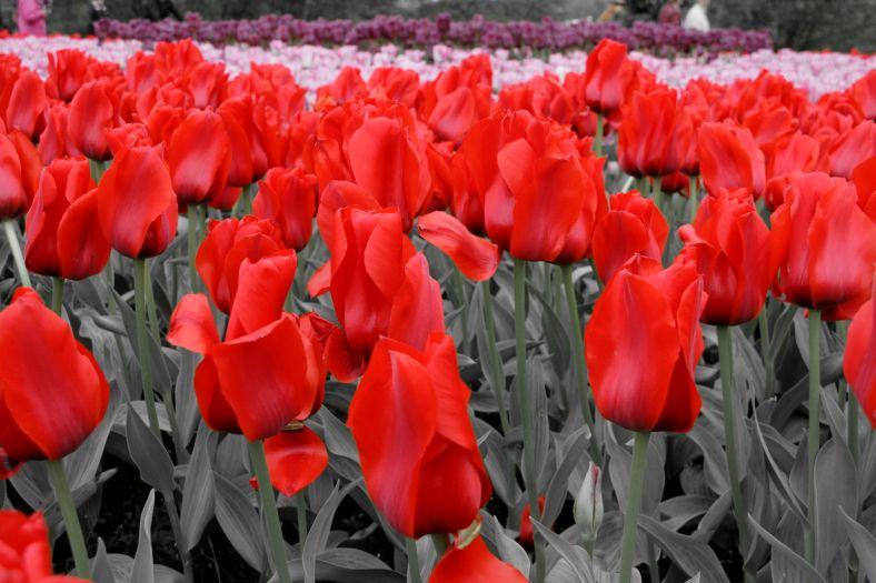 Polish Tulips