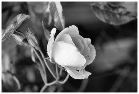 roza_rose