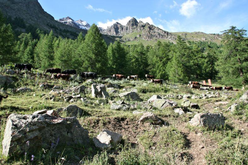 Aosta_cows