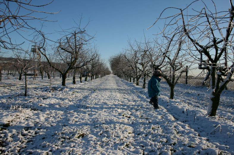 Snow in the orchard 1
