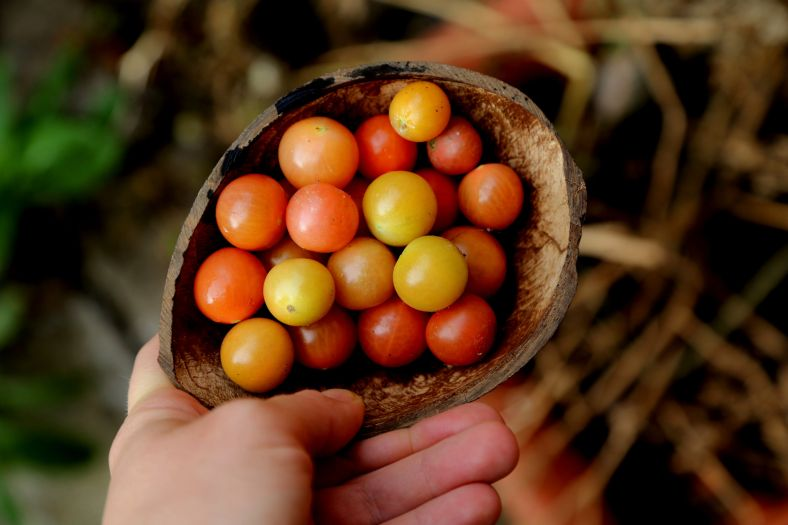 pomidorki2