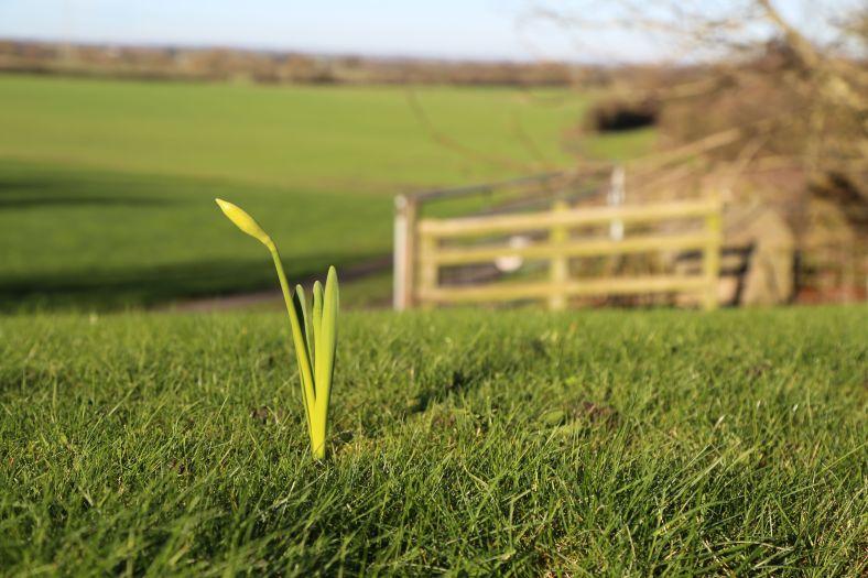 daffodils in winter